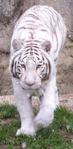 とべ動物園のホワイトタイガー「オメガ」の画像