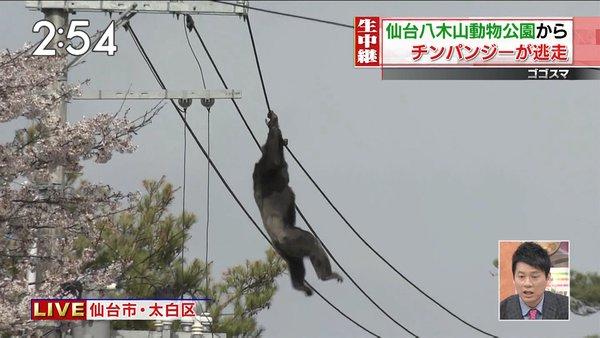 八木山動物公園から脱走したチンパンジーの画像