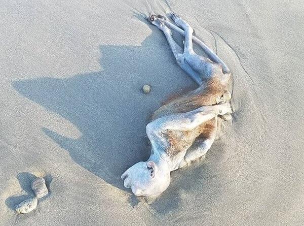 静波海岸に打ち上げられた謎生物の写真画像