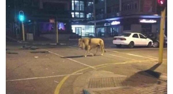 熊本の地震で脱走したとデマ?ライオンの画像