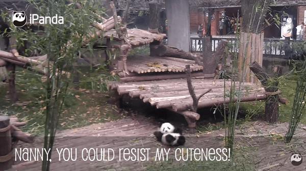 小パンダが転びながら職員の足に向かう画像