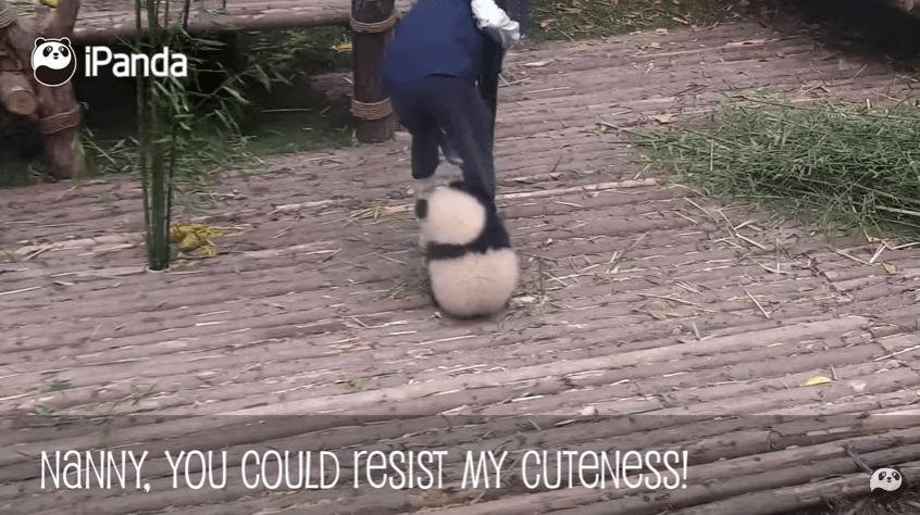 成都の小パンダが職員の足に抱きつく画像