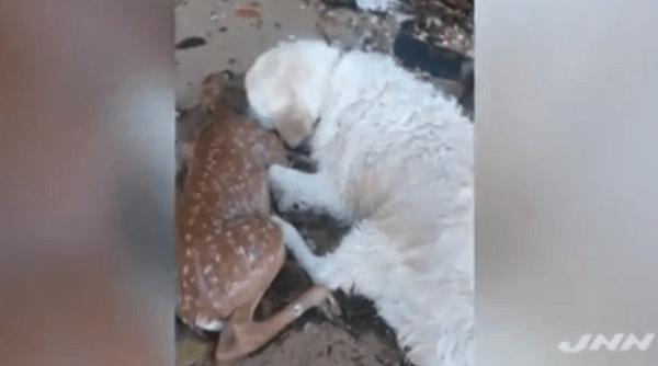 溺れていた小鹿を心配する犬の画像
