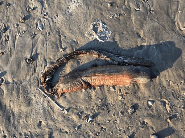 テキサス州で発見されたエイリアンのような生物の画像