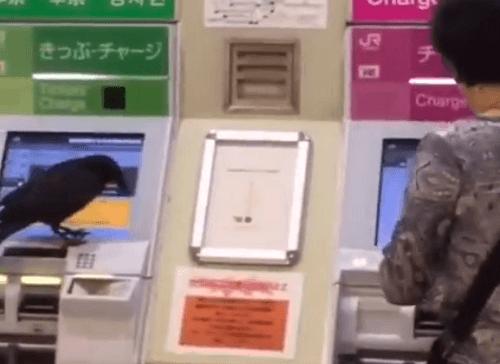 カラスが発券機で切符を購入しようとする動画のキャプチャ画像