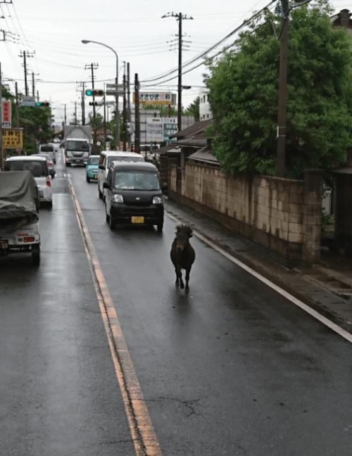 八街市の国道409号にロバまたは馬が疾走する画像