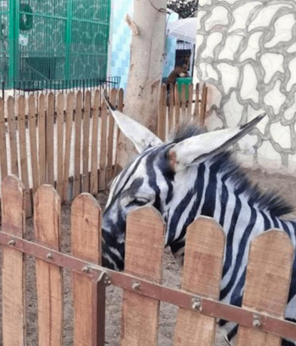エジプトの動物園でロバを縞模様に塗っている画像